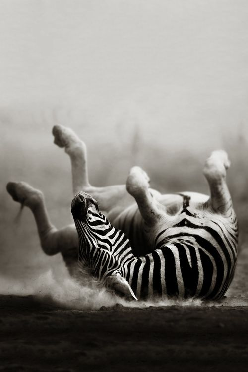 Zebra rolling in the dust (Artistic processing). Copyright: Johan Swanepoel. °