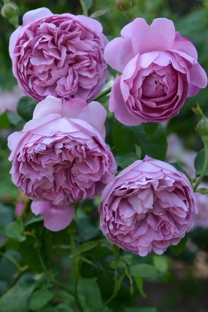 今日のバラ Rose of the day 97  ≡ チャールズ レニー マッキントッシュ ≡ Charles Rennie Mackintosh http://www.helpmefind.com/gardening/l.php?l=2.1089 1988年 United Kingdom David C. H. Austin http://search.rakuten.co.jp/search/inshop-mall/%E3%83%81%E3%83%A3%E3%83%BC%E3%83%AB%E3%82%BA%E3%83%AC%E3%83%8B%E3%83%BC+%E3%83%9E%E3%83%83%E3%82%AD%E3%83%B3%E3%83%88%E3%83%83%E3%82%B7%E3%83%A5/-/sid.214120-st.A  青みがかったモーブピンク、ロゼット咲き、中輪房咲きの花。 ころころとした花が株いっぱいにたわわに咲く。とても趣と可愛らしさのあるバラ。 四季咲き性。  ティにフルーツとミルラの中香。とある人はそれを水彩絵の具の香りと言ったとか。…