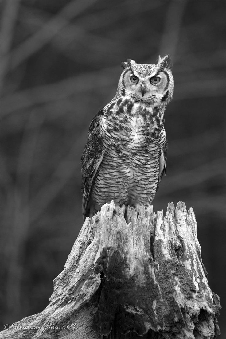 Eagle Owl by Shirley Howarth on SnapThePlanet.com