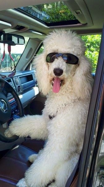 Blue Dyed Standard Poodle 60 best images about P...
