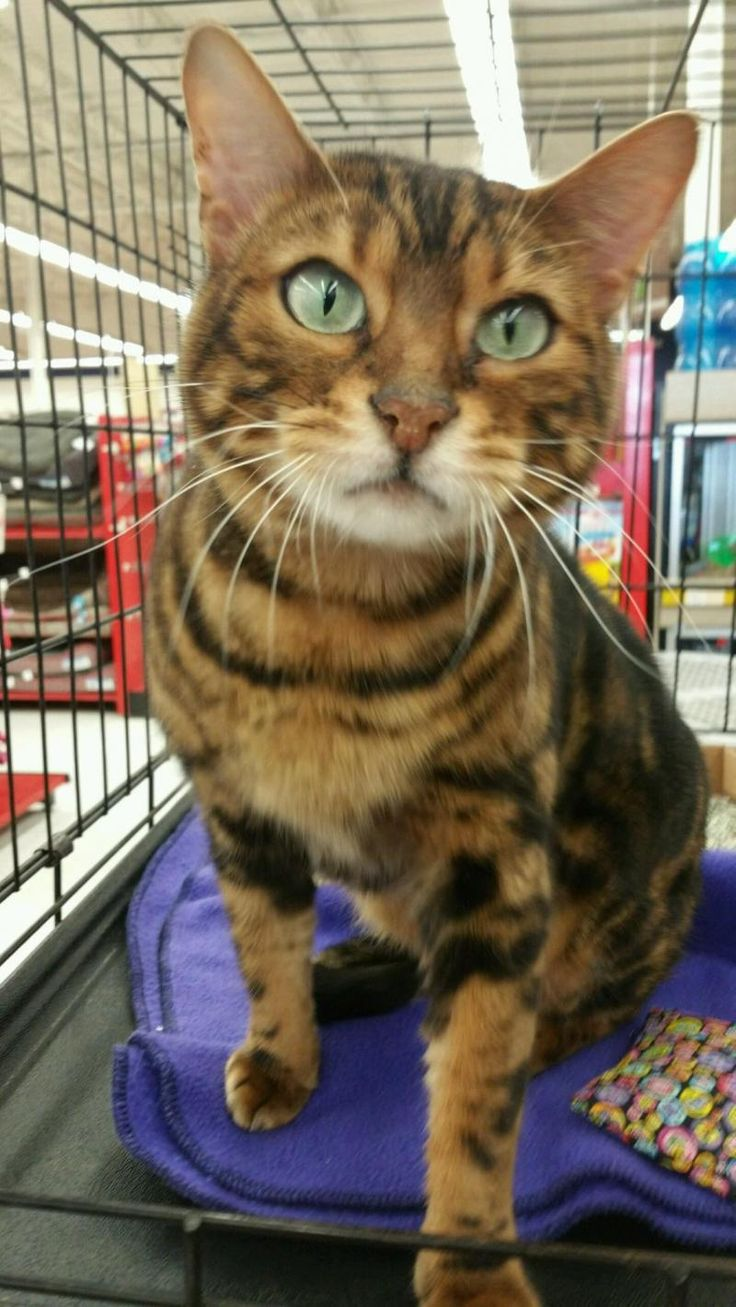 Adopt Miss Red on Pets, Bengal cat, Cats