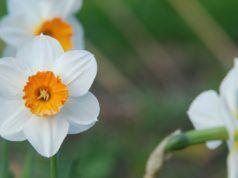 L'essenza anti stress: più rilassati grazie al fiore di Narciso