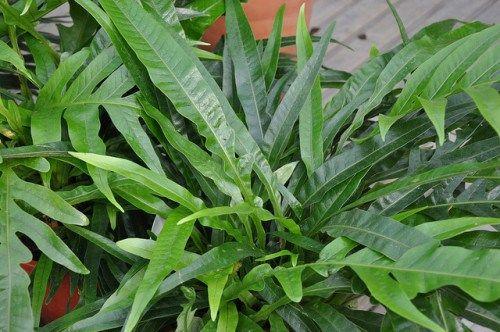 Fantastiquement surnommée Langue de Belle-Mère, la sansevière est recommandée pour améliorer la pureté de l'oxygène dans votre maison. Elle est parfaite pour la chambre à coucher, demande peu d'entretien et ne coûte pas chère. Cette plante a même été saluée par une étude menée par la NASA pour désigner 12 plantes améliorant la qualité de l'air. La science vient à bout de tout et comme la NASA la recommande, nous nous devons d'inclure cette plante à la liste.
