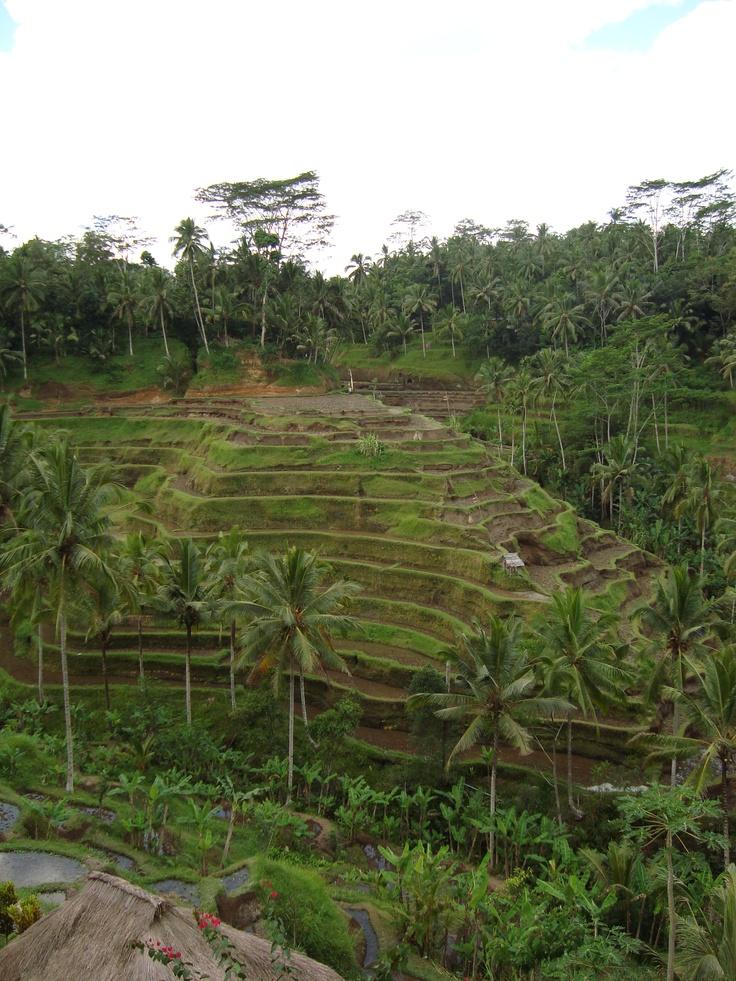 Bali - Rise Field 2009
