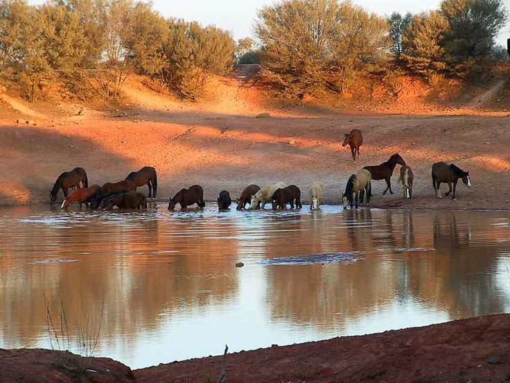 Brumbies, the wild horses of Australia ... I'm going to Australia to be a brumby wrangler :)