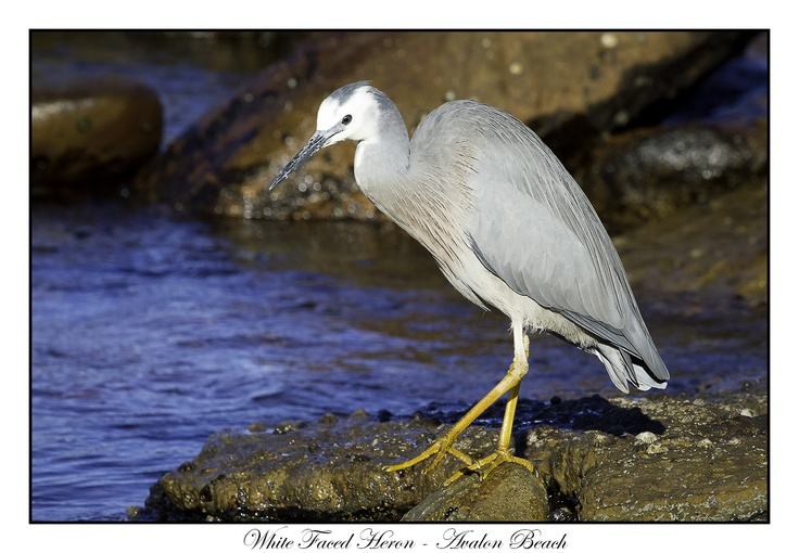 White Faced Heron. Avalon Beach, 2012