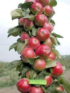 Колонновидные яблони: плюсы и минусы | Дачный сад и огород
