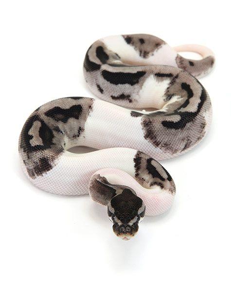 piebald ball python - Google Search                                                                                                                                                                                 More
