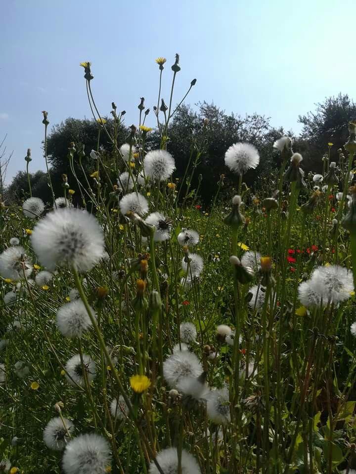 من الساحل السوري Plants Flowers Dandelion