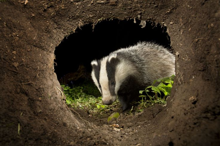 The badgers house is called a sett. The sett is a hole underground which usually has several entrances. Some setts have been in use for decades or perhaps even centuries. They usually have several chambers including a sleeping chamber or bedroom. Grass and bracken is often collected in order to provide bedding. The badger keeps the sett extremely clean with regular cleaning sessions and piles of old bedding can often be found outside the entrance to active setts.