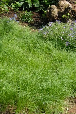 17 best images about garden grass carex bowles golden on pinterest garden ideas irises and