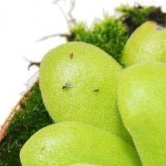 fruchtfliegen-fleischfressende-pflanze