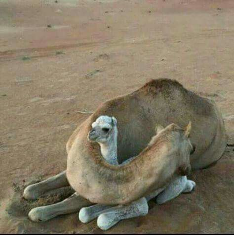 The camel cuddle... Photo by Rainforest Site