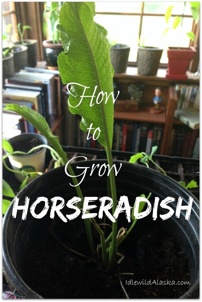 Growing Horseradish - IdlewildAlaska
