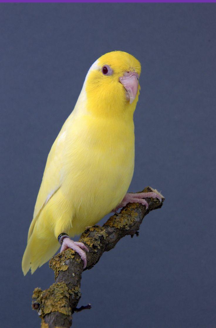 154 best parrotlets images on pinterest parrots animals and birds