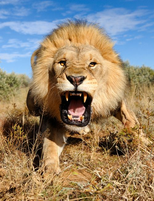 RaaaarrrhWild Animal, Big Cat, Lion, Animal Photography, Vans East,  King Of Beasts, South Africa,  Panthera Leo, Kitty