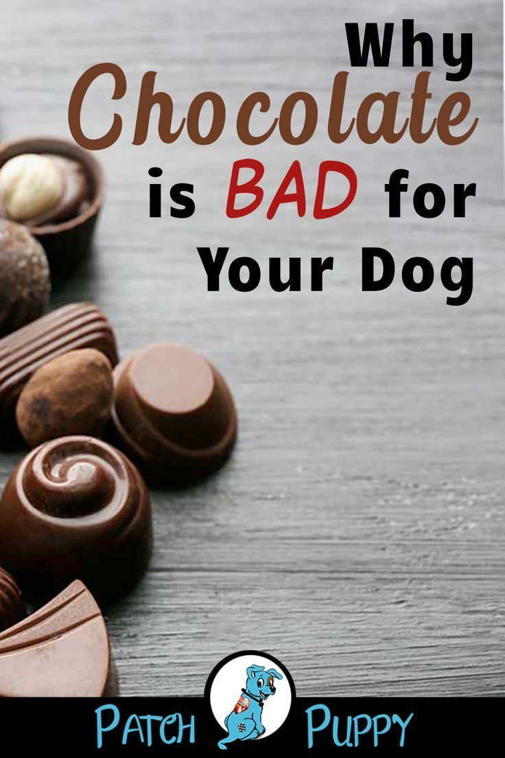 Help My Dog Ate A Chocolate Chip Cookie Dog Eating Chocolate