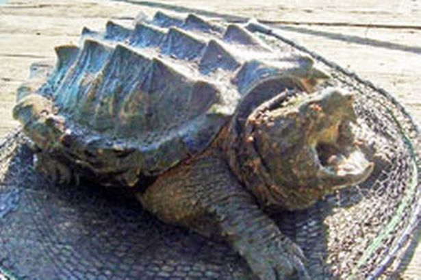 The alligator snapping turtle (Macrochelys temminckii) is the heaviest freshwater turtle in the world. Description from imgarcade.com. I searched for this on bing.com/images