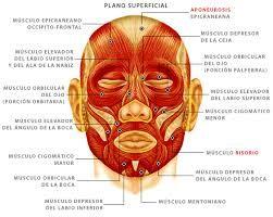 Resultado de imagen para musculos del craneo frontal y occipital