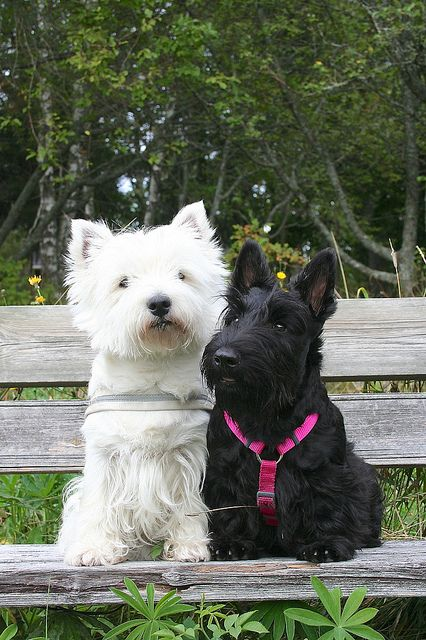 I'd love to have one of each -- a little girl for the Westie to be named Kirstie after a Westie I met in Edinburgh  a little boy for the Scottie to be named MacTavish for the second dog I ever loved.