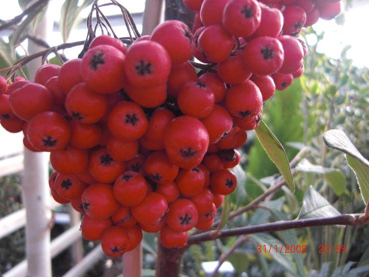 #Christmas Berries #http://www.lookbackinvintage.co.uk/
