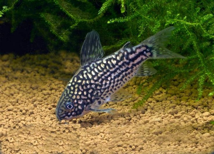 211 best corydoras images on pinterest catfish fish for Fish tank catfish