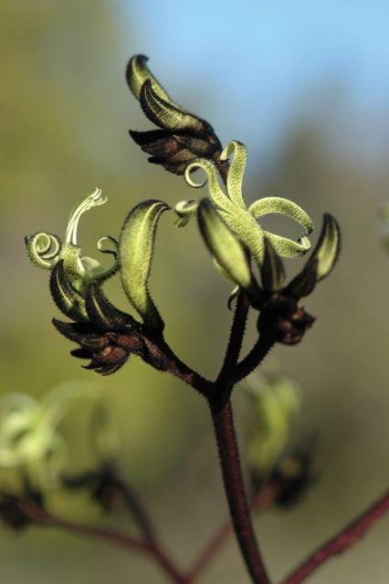 Wildflowers -- Black Kangaroo Paw (Macropidia fuliginosa). Photo: D. Blumer.