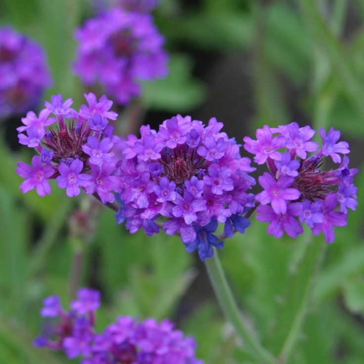 Verbena Plant Care Guide and Varieties | Auntie Dogma's Garden Spot Verbena Plant Care Guide and Varieties Verbena x hybrida Verbena is one of those garden essentials that bloom from spring to fall with very little fuss. In frost-free climates it is grown as a perennial, but most of us will have to grow it as an annual. Plants grow in clumps that reach a height of six to ten inches. Flowers can be mauve, purple, white, pink, apricot or red. Verbena is a popular hanging basket plant, and it…