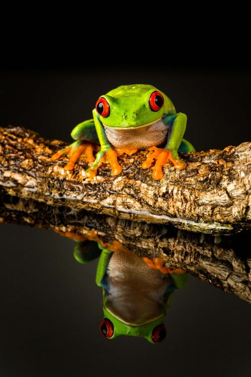Red-Eyed Tree Frog-15 by Brian Howe