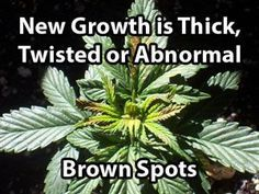 Plant Doctor   Deficiencies In Elemental Minerals   Diagnose Your Sick Cannabis Plants   Grow Weed Easy   November 24, 2014
