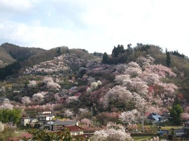 桜の名所で有名な、福島の花咲山の桜です。花き農家の持ち山なのでいろんな種類の春のお花が一斉に咲き、山一面ピンク色に染まります。【SPUR編集長 内田秀美 】  http://lexus.jp/cp/10editors/contents/spur/index.html  ※掲載写真の権利及び管理責任は各編集部にあります。LEXUS pinterestに投稿されたコメントは、LEXUSの基準により取り下げる場合があります。