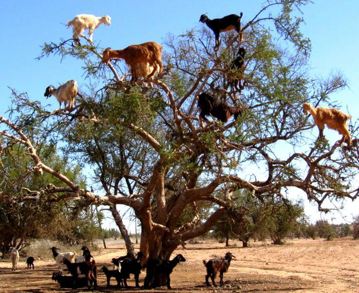 Arganolie. silly goats!