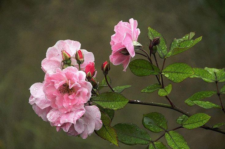 Gyönyörű rózsák - szép hölgyek!. Vita LiveInternet - orosz Service Online Diaries