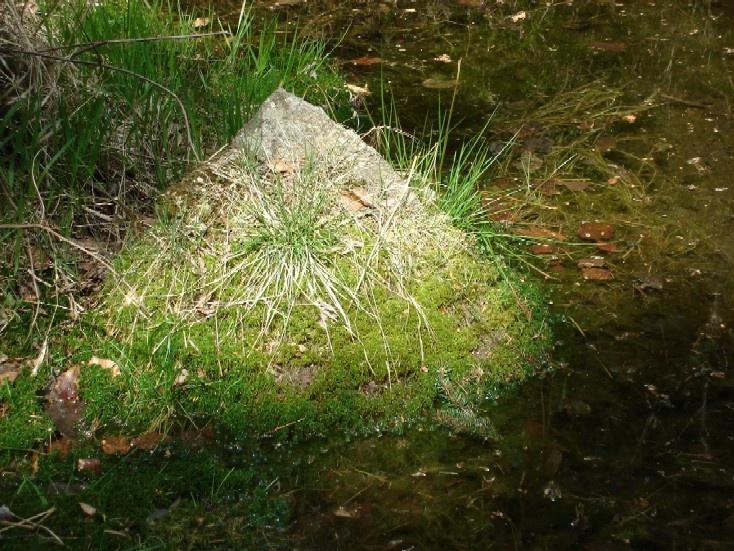 rašeliník na jaře