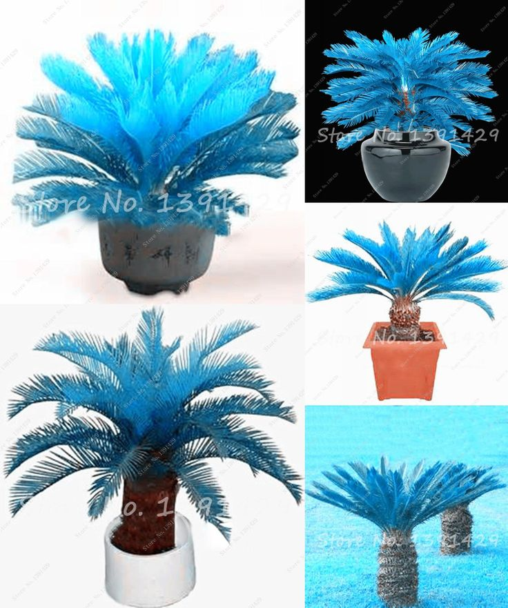 [Visit to Buy] bonsai Tree seeds,100pcs/bag blue Cycas seeds, Sago Palm Tree seeds.the budding rate 97% rare potted plant for home garden #Advertisement