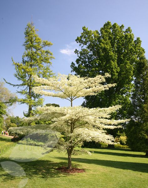 Now thinking perhaps I should plant a wedding cake tree (Cornus controvertas 'Variegata') in the front garden and move the cherry out to the back with the apples and plum. Hmmmm.