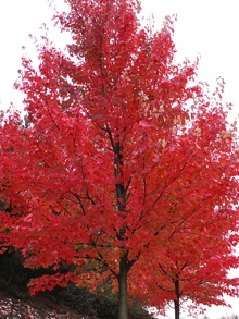 Autumn Blaze Maple - fast growing maple hybrid.