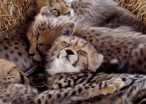 Cheetah Fun Fact: Baby cheetahs are called cubs, and usually have ...