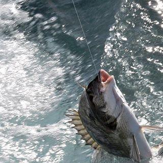 【ku.3776f】さんのInstagramをピンしています。 《Fishing scene in the past. ありゃ〜、ヌ〜チィ〜!(^-^)/ #チヌ#黒鯛#魚#釣れた#釣り#釣り人#尾鷲#磯釣り#の一日#磯#海#魚釣り#風景#景色#きれい#キリトリ部#美しい#日本 #fish#iso#fishing#sea#scenely#nature#beautiful#landscape#japan#ray_moment#pics_jp#fine》