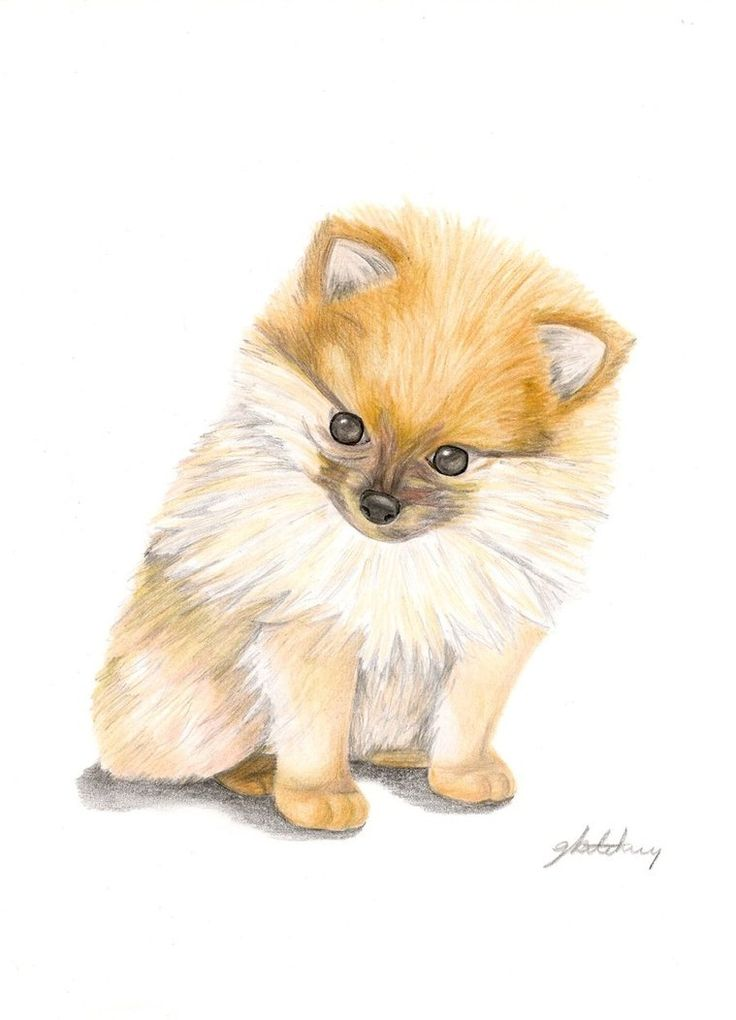 image result for pomeranian drawings in pencil