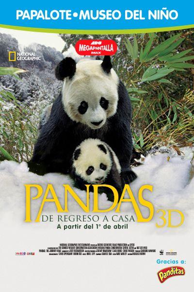 Conoce única reserva natural de osos panda en nuestro planeta ubicada en China en 3D.  #ADOMegapantallaIMAX