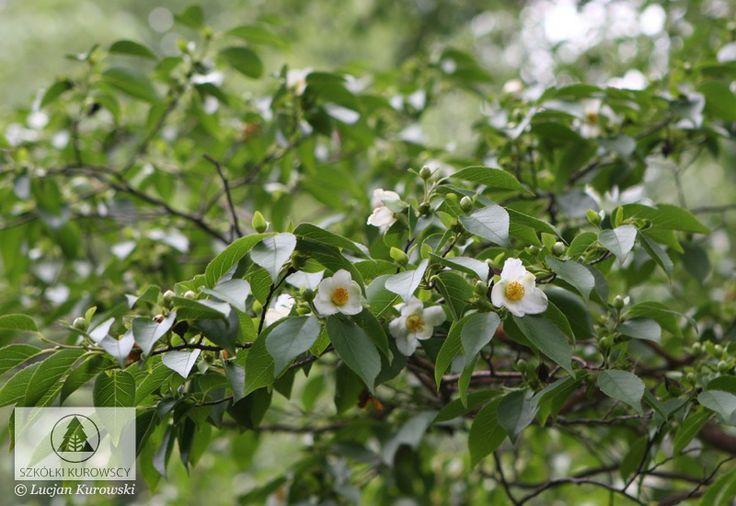 Stewartia sinensis - Stewarcja chińska