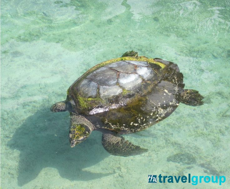 Giant Turtles in Moorea | The Travel Group