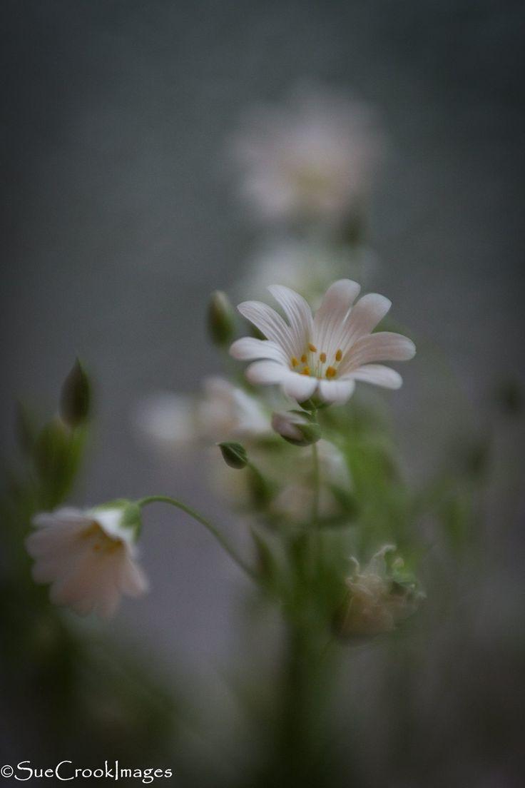 Wildflower, #lensbaby, composer pro, sweet 50, macros