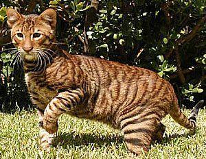 Google Image Result for http://toyger-cat.com/images/makeover_toyger_cat.jpg