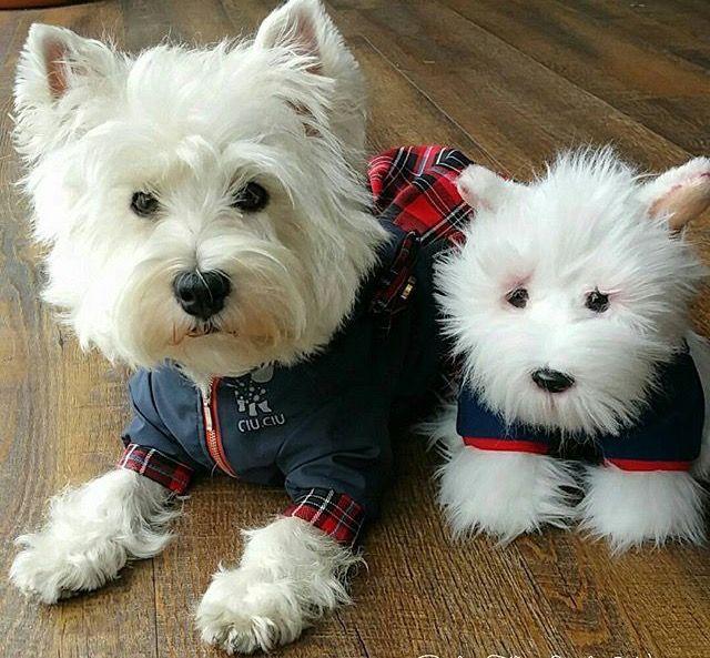 Cause Westies need cute buddies, too
