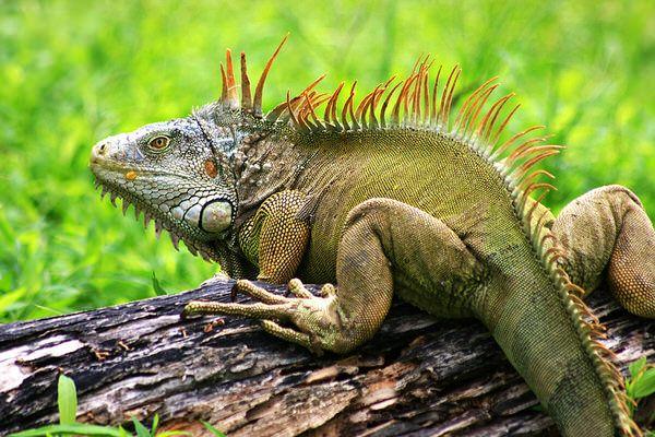 The pros and cons of Iguanas> http://www.thepetmatchmaker.com/pros-cons-iguanas/
