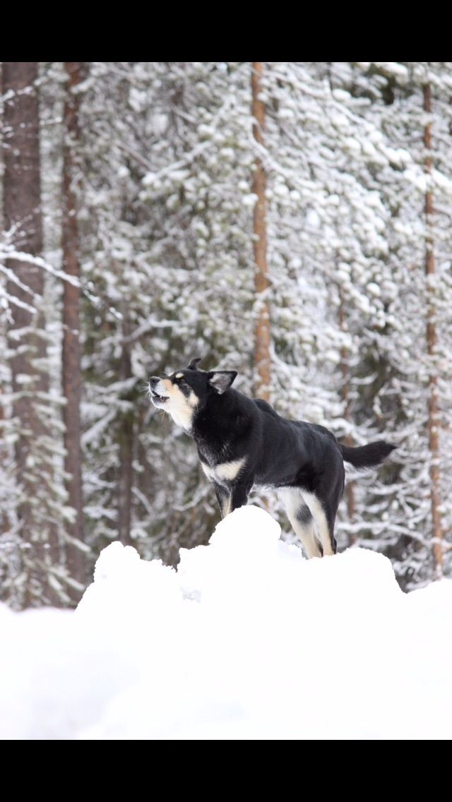 Dog from Finnish Lapland, lapponian herdee, lapinporokoira  Räpsy