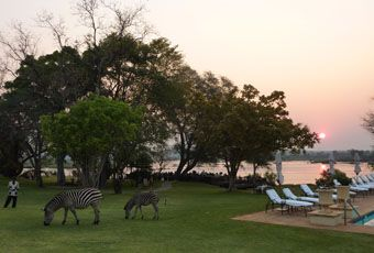 Under the African sun: zebra grazing on the lawn at Livingstone Resort, Zambia