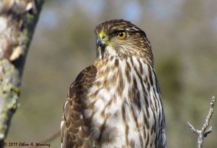 Hawks | Juvenile Cooper's Hawk Hunting at Old Borges Ranch in the Walnut Creek ...